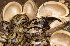 橡胶树种子和吠声在土壤,三叶胶brasiliensis播种特写镜头照片 免版税库存照片