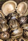 橡胶树种子和吠声在土壤,三叶胶brasiliensis播种特写镜头照片 库存图片