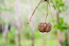 橡胶树种子 库存图片