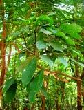 橡胶树-三叶胶Brasiliensis叶子  免版税图库摄影
