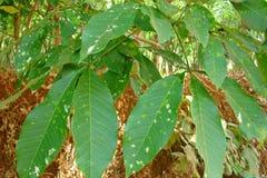 橡胶树-三叶胶Brasiliensis叶子  免版税库存照片