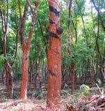 橡胶树-三叶胶Brasiliensis -当橡胶轻拍在橡胶园在喀拉拉,印度 库存照片