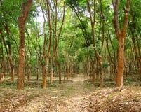 橡胶树-三叶胶Brasiliensis -种植园在喀拉拉,印度 免版税库存图片