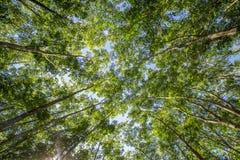 橡胶树(三叶胶brasiliensis),西宁省,越南 库存照片