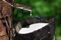 橡胶树 免版税图库摄影