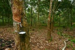 橡胶树 图库摄影