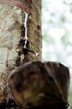 橡胶树 免版税库存图片