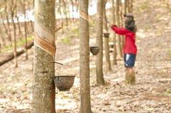 橡胶树 库存照片