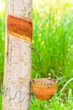 橡胶树 库存图片