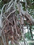 橡胶树/RUBBER无花果树/RUBBER木头树 免版税库存图片