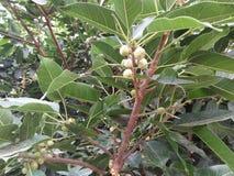橡胶树/RUBBER无花果树/RUBBER木头树 库存照片