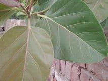 橡胶树/RUBBER无花果树/RUBBER木头树 免版税图库摄影