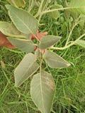 橡胶树/RUBBER无花果树/RUBBER木头树 免版税库存照片