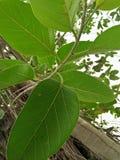 橡胶树/RUBBER无花果树/RUBBER木头树 图库摄影