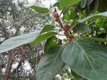 橡胶树/RUBBER无花果树/RUBBER木头树 库存图片