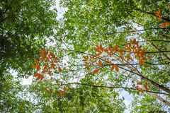 橡胶树& x28;三叶胶brasiliensis & x29; 西宁省,越南 图库摄影