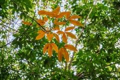 橡胶树& x28;三叶胶brasiliensis & x29; 西宁省,越南 库存照片