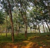 橡胶森林 免版税库存图片