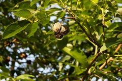 橡胶球在橡胶树 库存照片