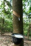从橡胶的乳汁树汁 库存照片
