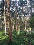 橡胶的耕种在斯里兰卡 免版税库存照片