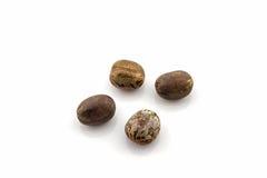 橡胶种子,三叶胶brasiliensis 免版税库存照片