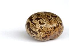 橡胶种子 免版税库存照片