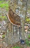 橡胶结构树 免版税库存图片
