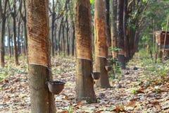 橡胶trees.2 免版税图库摄影