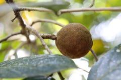 檀香木树 库存图片