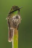 欢乐的蜂鸟被栖息 免版税库存照片
