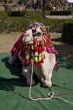 欢乐的骆驼 免版税库存照片