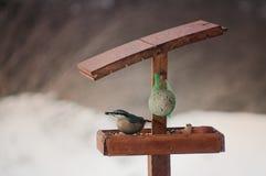 欧亚五子雀或木头五子雀(五子雀类europaea) 免版税库存图片