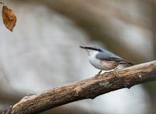 欧亚五子雀,五子雀类europaea,坐死的分支,垂直的图象 库存照片