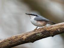 欧亚五子雀,五子雀类europaea,坐死的分支,垂直的图象 免版税库存照片