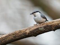 欧亚五子雀,五子雀类europaea,坐死的分支,垂直的图象 免版税库存图片