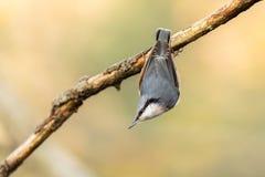 欧亚五子雀,五子雀类europaea,垂悬颠倒从一个死的分支 免版税库存照片