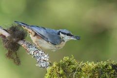 欧亚五子雀(五子雀类europaea) 免版税图库摄影