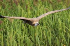 欧亚兀鹫欺骗在飞行中fulvus 库存图片
