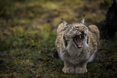 欧亚天猫座打呵欠并且显示大和锋利的牙齿 野生猫的特写镜头画象在自然环境里 库存图片