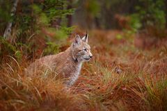 欧亚天猫座走 从德国的野生猫 在树中的美洲野猫 在秋天草的狩猎食肉动物 天猫座在绿色森林Wil里 免版税库存照片