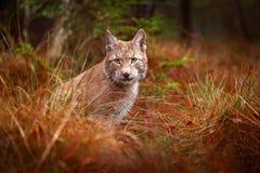 欧亚天猫座走 从德国的野生猫 在树中的美洲野猫 在秋天草的狩猎食肉动物 天猫座在绿色森林Wil里 库存照片