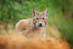 欧亚天猫座走 从德国的野生猫 在树中的美洲野猫 在秋天草的狩猎食肉动物 天猫座在绿色森林Wil里 图库摄影