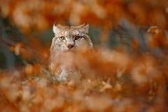 欧亚天猫座,在橙色分支掩藏的野生猫画象,动物在自然栖所,德国 免版税库存照片