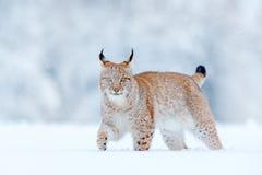欧亚天猫座,野猫在有雪的森林里 从冬天自然的野生生物场面 逗人喜爱的大猫在栖所,冷的情况 多雪 库存照片