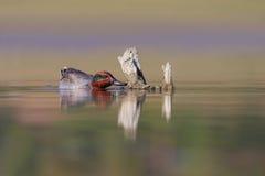 欧亚小野鸭或共同的小野鸭(语录crecca)。 库存照片