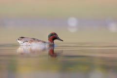 欧亚小野鸭或共同的小野鸭(语录crecca)。 免版税库存照片