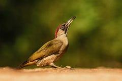 欧亚山啄木-皮库斯viridis 库存照片