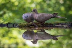 欧亚抓住衣领口的鸠或斑鸠decaocto坐在waterhole 免版税库存图片