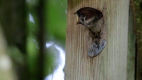 欧亚树麻雀喂养昆虫,荷兰 股票录像